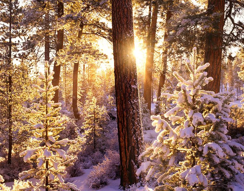 V00335M.tiff   Snow and sunrise on Ponderosa Pine trees with sunburst. Freemont National Forest, Oregon