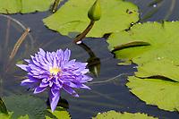 purple water lily, Nymphaea sp., Waikoloa, Kohala, Big Island, Hawaii, USA