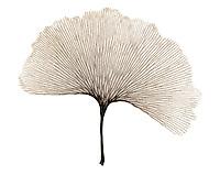 Xray Ginko leaf sepia
