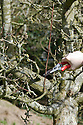 In winter, prune new sideshoots to encourage the growth of fruiting spurs.