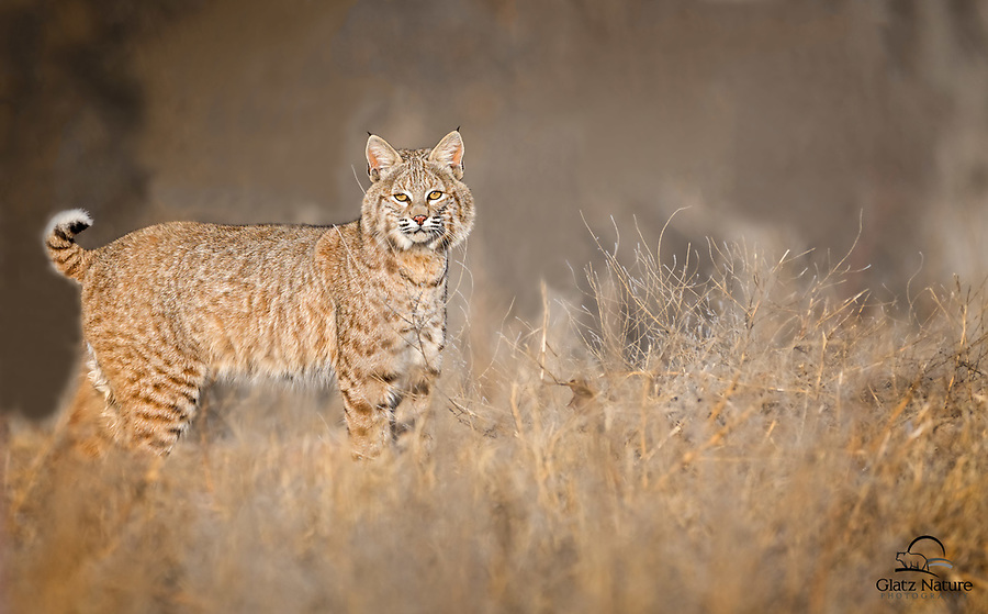 Face-to-face, eye-level encounter with an elusive, wary predator.  The Bobcat (Lynx rufus) evaded us for many years until we were fortunate to get a very quick, but very clear, look at him.  Bosque del Apache National Wildlife Refuge, New Mexico.