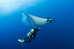 San Benedicto Island, Revillagigedos Islands, Mexico; a scuba diver swimming next to a chevron manta ray in blue water with the sun overhead