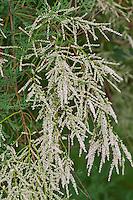 Kaspische Tamariske, Sommertamariske, Sommer-Tamariske, Tamarisken, Tamarix ramosissima, Pink tamarisk, tamarisk, tamarix, tamarisk tree, Five-stamen Tamarix, saltcedar, Salt cedar