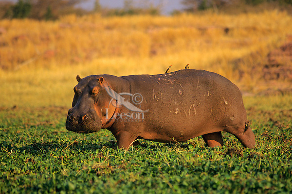 Common Hippopotamus (Hippopotamus amphibius) Matusadona National Park, Zimbabwe.