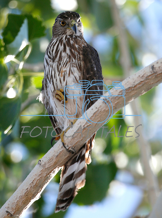 An immature Cooper's hawk in the garden, in Gardnerville, Nev., on Thursday, May 27, 2021. <br />Photo by Cathleen Allison/Nevada Momentum