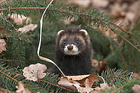 Europäischer Iltis, Waldiltis, Wald-Iltis, Marder, Mustela putorius, Western polecat, European polecat, Putois