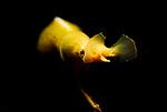Blue Ribbon Eel, female-Rhinomuraena quaesita, Lembeh Straits, Sulawesi Sea, Indonesia, Amazing Underwater Photography