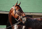May 25, 2015 American Pharoah having a bath after his gallop at Churchill Downs on Sunday, May 24, 2015.  He flies to New York on June 2.  ©Mary M. Meek/ESW/CSM