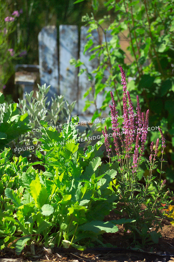 Shallow focus garden vignette of leafy greens and purple salvia blossoms in the early morning sunlight, backed by an old, weathered, sky blue painted Adirondack chair used as garden art, in an organic kitchen garden of mixed vegetables and flowering herbs on Vashon island in Washington State's Puget Sound. Garden design by Stenn Design