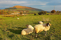 Fryup : North : Yorkshire : Moors : National : Park : rural : countryside : country : fields : grass : farm : farming : land : trees : hedges : dry : stone : wall : heritage : protected : upland : Moorland : heather ; bracken : organic : sheep : cows : hills : dales : dale : valley : high : land : landscape : picturesque : peaceful : beautiful : walkers : tourist : travel : visitor : holiday : wildlife : northeast : autumn : colours : forestry : remote : farmer : traditional :