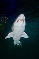 sand tiger Shark (Carcharias taurus) . Aka Grey Nurse Shark, Raggie, and Ragged Tooth Shark. North Carolina, USA, north western Atlantic Ocean