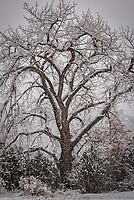 An old Cottonwood Tree stands in falling snow near the Jemez River in New Mexico's Jemez Mountains.