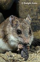 MU32-007z   Silky Pocket Mouse - eating grasshopper - Perognathus flavus