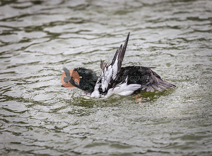 Male Common Goldeneye flapping and splashing in water