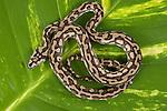 Baby Coastal Carpet Python (Morelia spilota mcdowelli) on a leaf