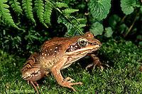 FR19-024z  Wood Frog - adult - Lithobates sylvaticus, formerly Rana sylvatica
