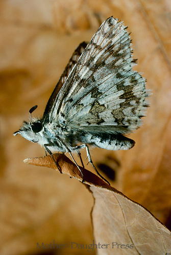 Skipper butterfly, Hesperia comma,  on dried brown leaf