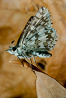 Skipper butterfly, Hesperia comma,  on dried brown leaf