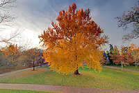 The famous ginkgo tree west of the rotunda at the University of Virginia photographed Nov. 26, 2010 in Charlottesville, VA. Photo/Andrew Shurtleff