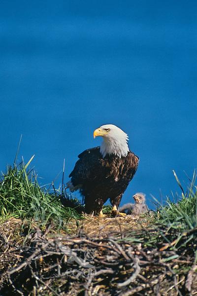Bald eagle with young chick at nest,  Kodiak Island National Wildlife Refuge, Alaska, June.