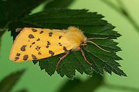 Purpurbär, Purpur-Bär, Stachelbeerbär, Stachelbeer-Bär, Rhyparia purpurata, Purple Tiger, Bärenspinner, Arctiinae, Arctiidae