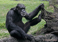 0209-08pp  Chimpanzee, Pan troglodytes © David Kuhn/Dwight Kuhn Photography