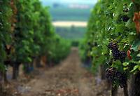 Vigneto sulla Strada del Vino.Wineyard on the Wine Route.