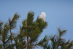 Snowy Owl in a ponderosa pine tree in Montana during winter