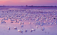 Snow Goose, Chen caerulescens, flock resting at dawn, Bosque del Apache National Wildlife Refuge , New Mexico, USA
