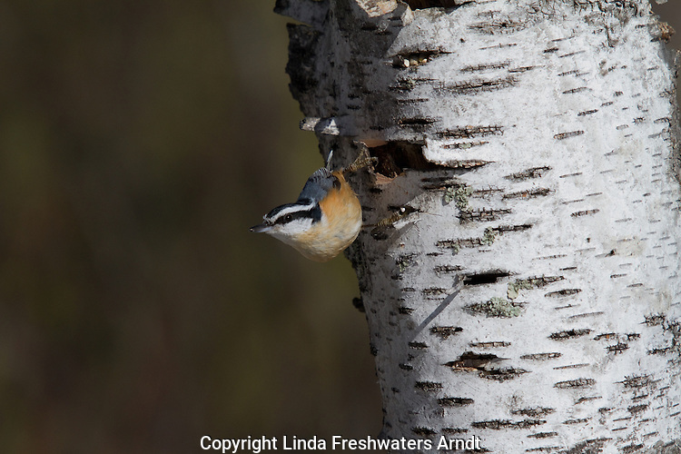 Red-breasted nuthatch in Wisconsin
