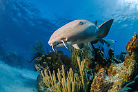 Nurse shark (Ginglymostoma cirratum), swimming on the reef, Chinchorro Banks (Biosphere Reserve), Quintana Roo, Mexico