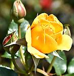 Forbidden Roses