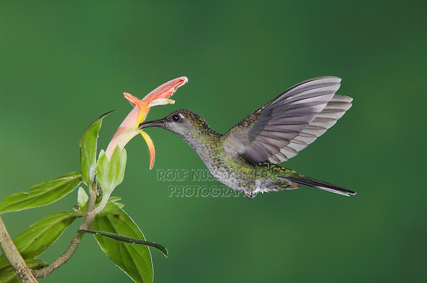 """Violet Sabrewing, Campylopterus hemileucurus, female in flight feeding on """"Snakeface"""" flower , Central Valley, Costa Rica, Central America, December 2006"""