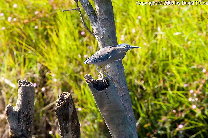 Striated Heron aka Mangrove Heron, Daintree River, Queensland, Australia