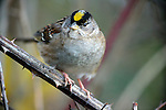 Yellow-fronted sparrow