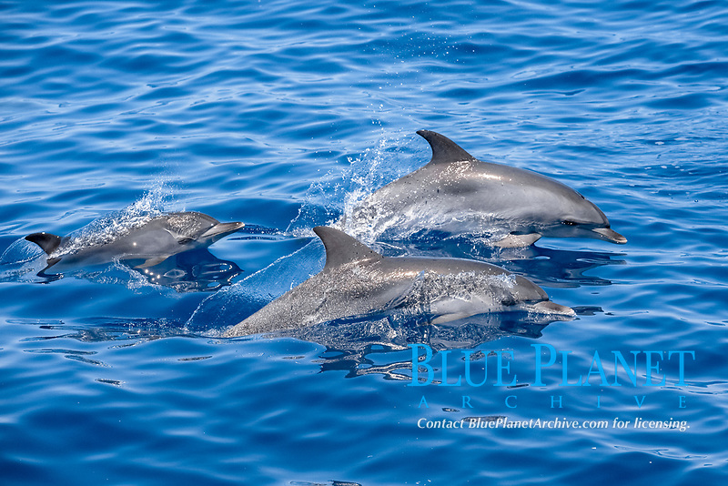 Atlantic Spotted Dolphin (Stenella frontalis) adult animals surfacing. Azores, Atlantic Ocean