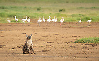 A Spotted Hyena, Crocuta crocuta, sits in front of a group of Lesser Flamingoes, Phoeniconaias minor, in Lake Nakuru National Park, Kenya