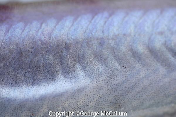 Close up of body scales of Blue whiting Micromesistius poutassou Norwegian sea North Atlantic.