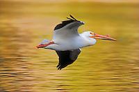 American White Pelican. Yellowstone National Park, Wyoming. U.S.A. Autumn. (Pelecanus erythrorhynchos).