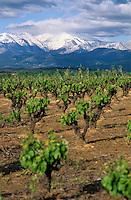 Europe/France/Languedoc-Roussillon/66/Pyrénées-Orientales/Env Perpignan/Pollestres: Vignoble AOC Côtes du Roussillon et Canigou - Vigne taillée en godet