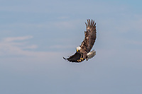 Adult Bald Eagle coming in for landing with feet spread and forward