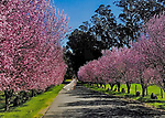 Spring cherry tree in Sonoma County.