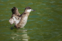 Male nonbreeding Ruddy duck standing up in water flapping wings