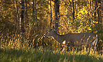 White-tailed doe walking in the autumn light.