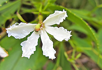 "A close-up of a naupaka kuahiwi, or mountain naupaka, as seen along a trail in Hawai'i; actually a complete blossom with all the petals on one side, it is so distinctive that several Hawaiian legends exist to account for their unusual ""half-flower"" appearance."
