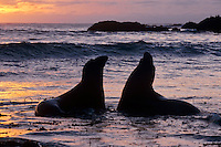 Two young male Northern Elephant Seals (Mirounga angustirostris) practice sparring in the surf along a California beach.