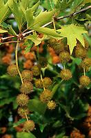 Morgenländische Platane, Orientalische Platane, Früchte, Platanus orientalis, Chenar, Oriental Plane, Oriental Plane-Tree