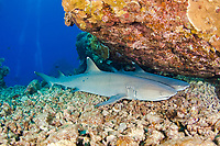 Two whitetip reef sharks, Triaenodon obesus, resting on the bottom. Maui, Hawaii, USA, Pacific Ocean