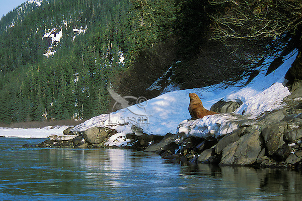 Steller's Sea Lion or Northern Sea Lion bull resting on snowbank along Stikine River (about 20 miles up river from saltwater), Alaska.  April