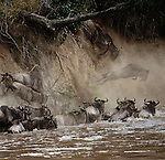 Once committed to crossing the Mara River, common wildebeests will do so with reckless abandon, leaping from cliffs, plunging down steep embankments, and fording turbulent rapids. Along the way thousands of wildebeests may perish from being trampled by the frenzied herd.